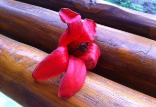Ein Teil dieser Blüte kommt in Mae Sai ins Essen