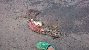 eine Python auf der Straße