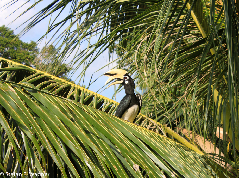 Ein Hornbill - Nashornvogel