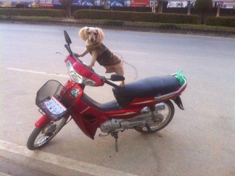 Hund auf Honda Wave 110