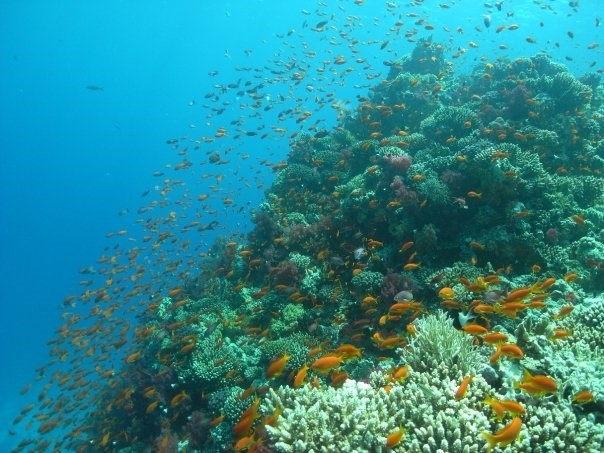 Anemonenfisch - Schwarm an Korallen