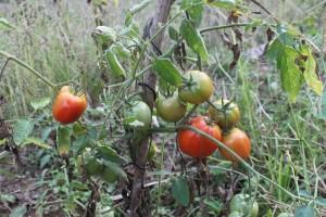 rote Tomaten bei mir zuhause in Mae Sai
