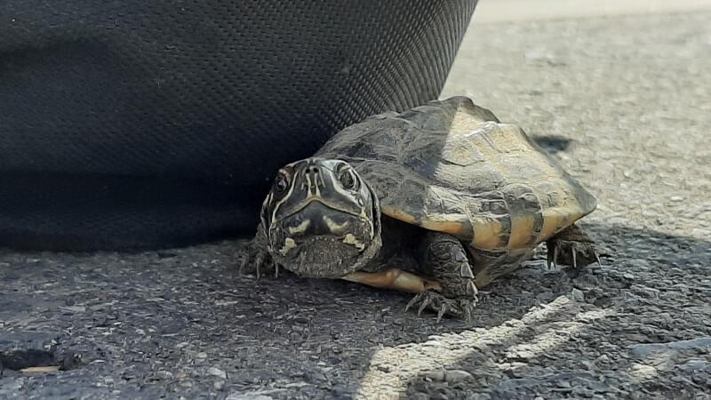 Kleine Schildkröte auf der Straße